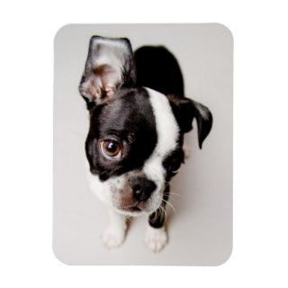 Edison Boston Terrier puppy. Rectangle Magnets